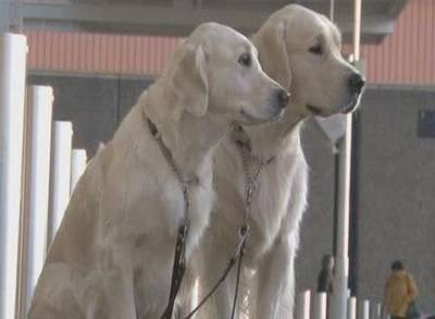 News video: Crufts 2015: Dogs Arrive for the First Day of the Show
